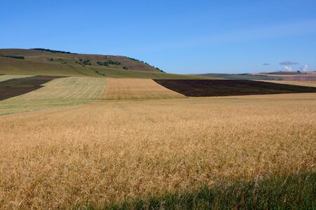 arable: On a field a strip ripened wheat surrounded with an arable land.