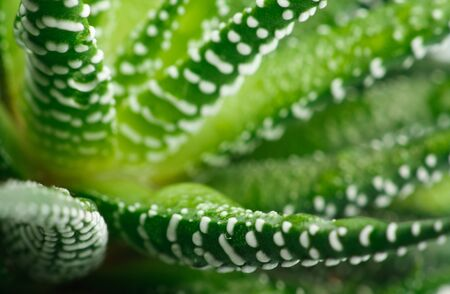 healing plant: Close-up of the healing plant Aloe Vera