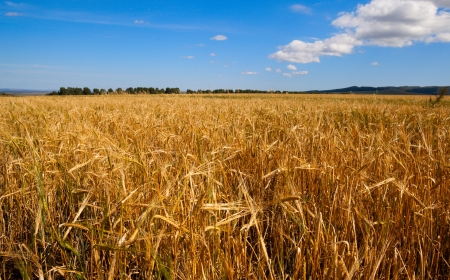a yellow oats field and blue sky photo