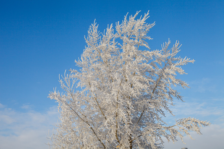 Beautiful winter frosty forest covered with snow and hoarfrost 版權商用圖片