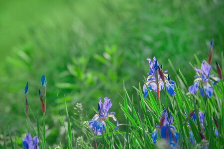 Abstract background of green grass and blue flowers lit by the sun.
