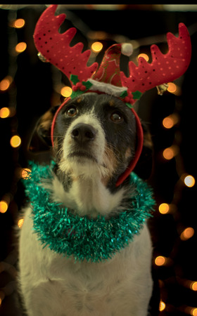 dog posing for the christmas with the raindeer horns and colours light