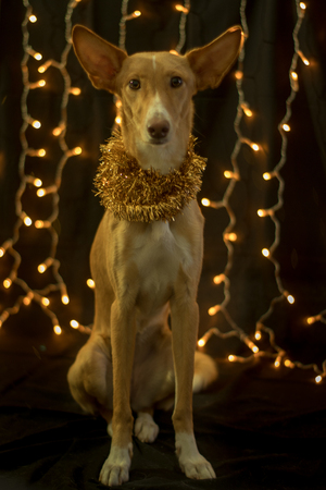 dog posing for the christmas and colours light