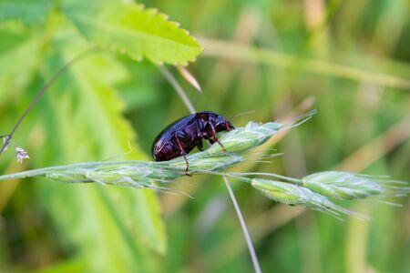 imago: beetle Asemum striatum