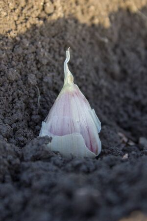 planted: clove of garlic planted Stock Photo