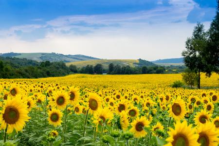 pole słonecznika Zdjęcie Seryjne