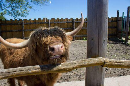 horns: big bull horns
