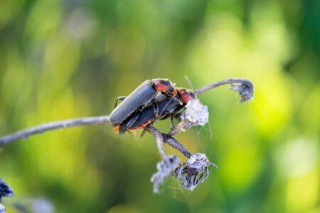 sexual activities: pairing soldier beetle