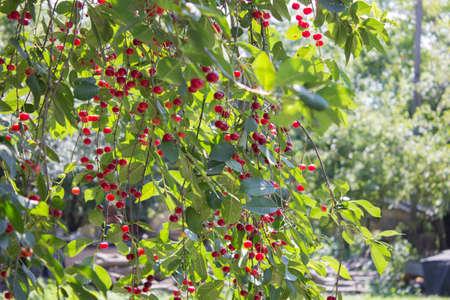 abundant: abundant cherry tree