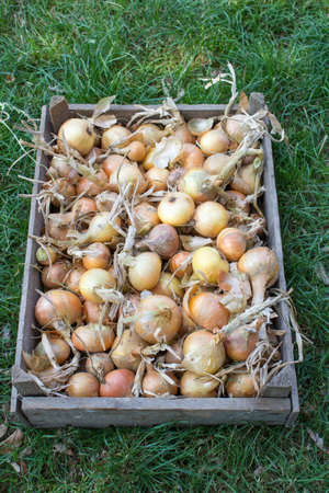 collected: onion crop collected in a wooden tray lying on the grass Stock Photo