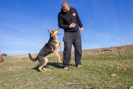 biting: aggressive attack dog shepherd biting on mans hand