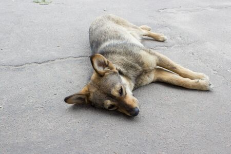 disease patients: dying mongrel dog lying on asphalt road
