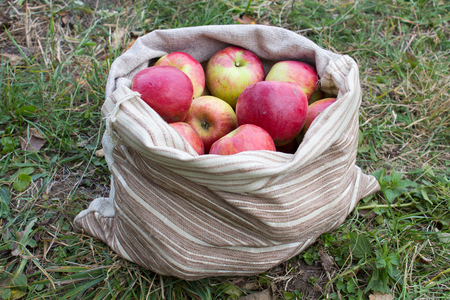 ripe red apples are collected in a bag on the grass Stock Photo
