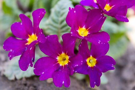 purple primroses in the earth Stock Photo
