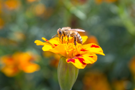 bee is collected by the nectar of autumn Stock Photo