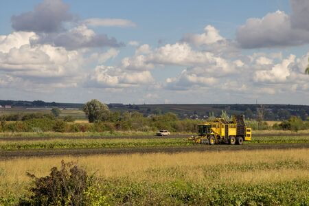 combine harvester beets,A yellow combine collects sugar beet in the fall in the field 写真素材