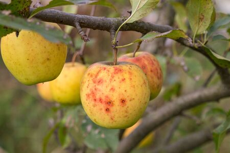 yellow autumn apples,varieties of yellow apples on a tree in autumn in the garden
