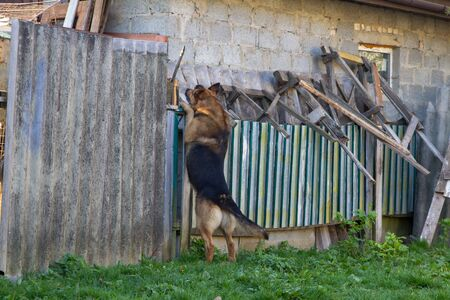 dog stands on the fence,the dog peeks through the fence standing with its front paws