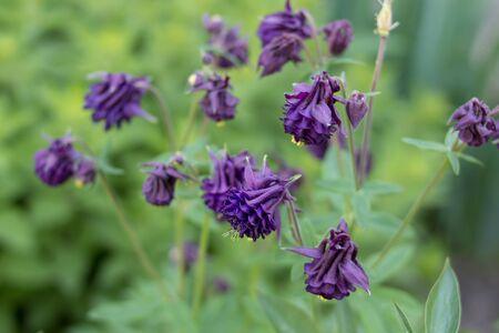 plant European columbine,flowering plant in the garden, Aquilegia vulgaris, European columbine, common columbine, grannys nightcap, grannys bonnet
