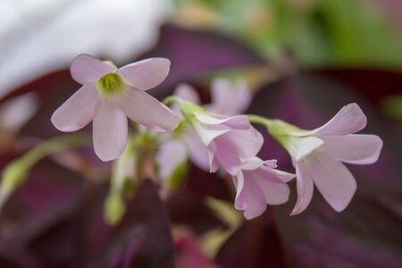 Oxalis triangularis,flower in flowerpot closeup of Oxalis triangularis Imagens