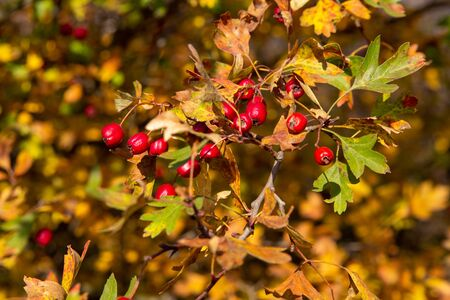 red hawthorn and yellow leaves,Red berries of Hawthorn on the branch with yellow leaves. Copy space Archivio Fotografico