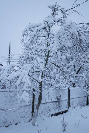 tree covered with snow,fruit tree covered with snow in the village