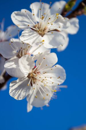 plum blossom in the blue sky,flowering plum in spring morning in the blue sky background