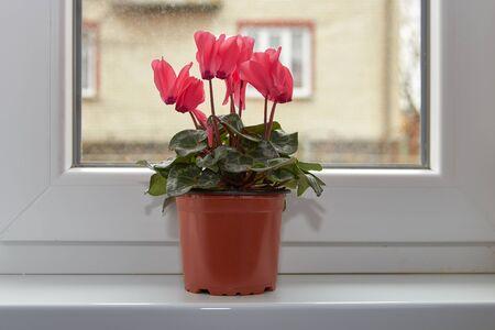 Cyclamen in a flowerpot,cyclamen in a flower pot in the room on the windowsill