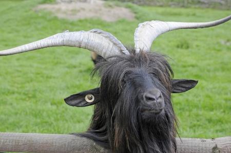 billygoat: billy-goat Stock Photo