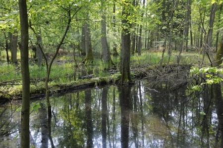 alluvial: Alluvial forest