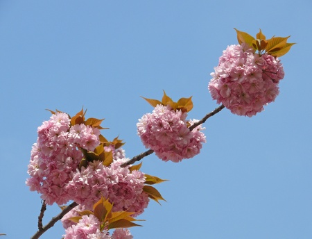 flowers of the ornamental cherry photo