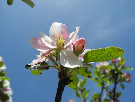 Apple blossoms Stock Photo - 13511219