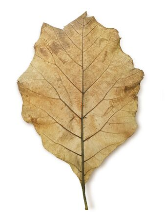 Wilted teak leaf isolated on white background Banco de Imagens