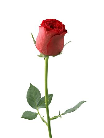 rosa roja aislada sobre fondo blanco