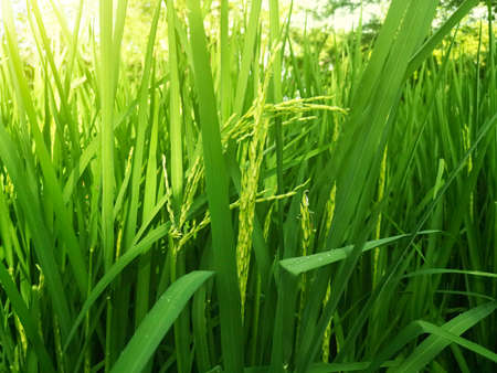 Green rice paddies growing seedlings. Background image. Agriculture Standard-Bild