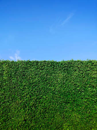 Green grass wall texture and bright blue sky