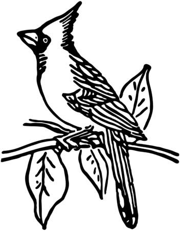 Cardinal Vektorové ilustrace