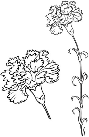 the carnation: Carnation