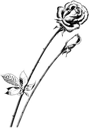 Roses 向量圖像