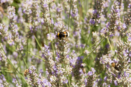 lavender with bumblebee