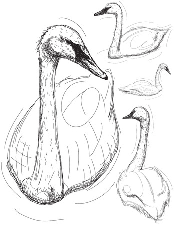 swans: Swan drawings, Hand drawn sketches of swans.