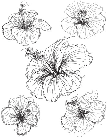 Hibiscus flower sketches, Hand drawn hibiscus flower sketches. Ilustracja