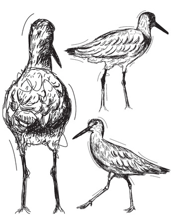 Willet Sketches, Sketchy hand drawn water birds. Иллюстрация