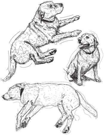 labrador: Labrador Retriever sketches Illustration