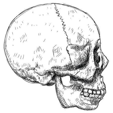 bio medicine: Skull sketch - side view