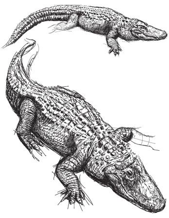 alligator: Alligator sketches