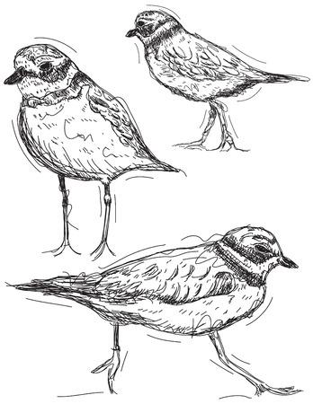 waders: Sandpiper drawings Illustration