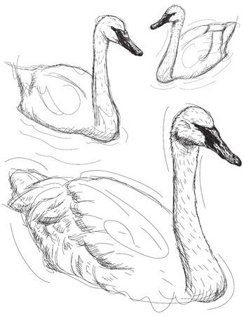 water bird: Swan sketches Illustration