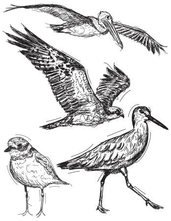 oiseau dessin: croquis d'oiseaux océaniques