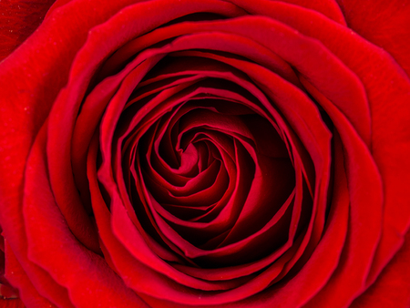 Pétalos de una rosa vista cercana Foto de archivo
